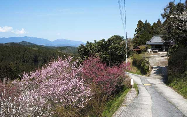 梅の咲くアプリコット進入路付近